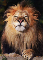 Lion Face (1 card/1 envelope) - Father's Day Card  INSIDE: Happy Father's Day �to one cool cat!
