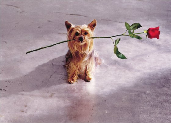 Yorkie with Rose in Mouth (1 card/1 envelope) - Valentine's Day Card - FRONT: No Text  INSIDE: Need I say more? Happy Valentine's Day