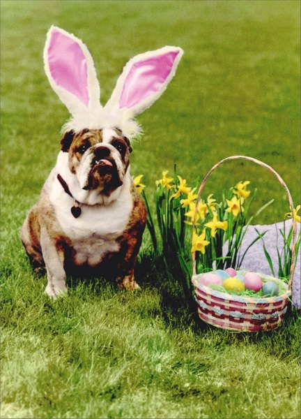 Bulldog with Rabbit Ears (1 card/1 envelope) - Easter Card - FRONT: No text  INSIDE: You were expecting Peter Rabbit?  Happy Easter