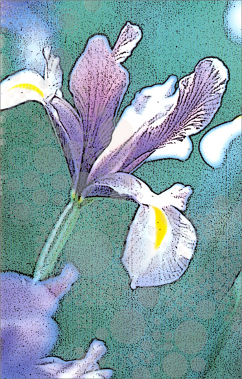 White and Purple Iris (1 card/1 envelope) Freedom Greetings Blank Card