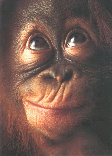 Orangutan Pongo Pygmaeus Close Up (1 card/1 envelope) - Blank Card - FRONT: No Text  INSIDE: Blank Inside