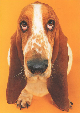 Basset Hound Looking Upward (1 card/1 envelope) Graphique de France Funny Belated Birthday Card - FRONT: No Text  INSIDE: Sorry.. The dog ate your card!  Happy Belated Birthday!