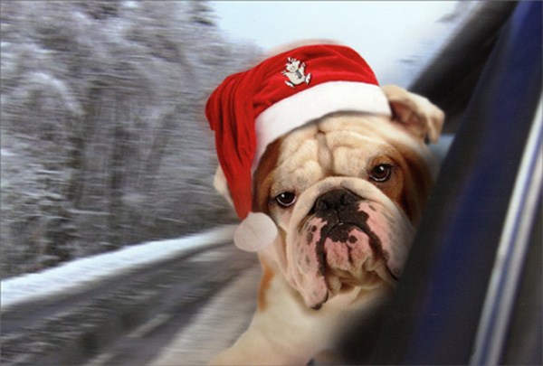 Bulldog Hanging Out Car Window Box Of 12 Cute Dog Christmas Cards By