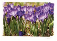 Crocus Gathering: Claudia Kuhn (1 card/1 envelope) Paper House Artist Series Blank Card