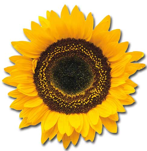Common Sunflower (1 card/1 envelope) - Blank Card