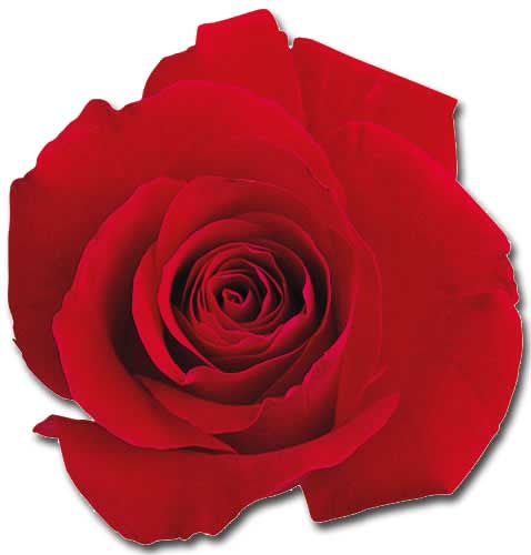 Red Rose (1 card/1 envelope) - Blank Card