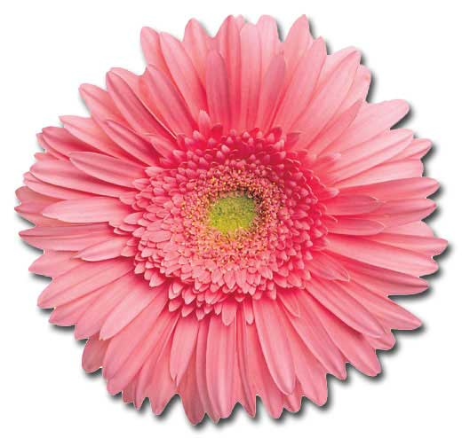 Pink Gerbera Daisy (1 card/1 envelope) Paper House Productions Die Cut Blank Card