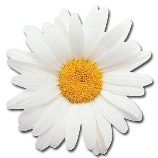 Oxeye Daisy (1 card/1 envelope) Paper House Productions Die Cut Blank Card