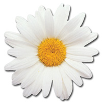 Oxeye Daisy Die Cut Blank Note Card