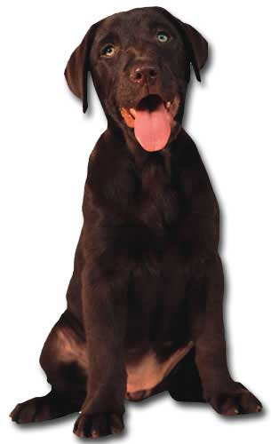 Chocolate Labrador (1 card/1 envelope) Paper House Productions Die Cut Dog Blank Card
