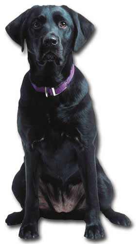 Black Labrador (1 card/1 envelope) Paper House Productions Die Cut Dog Blank Card