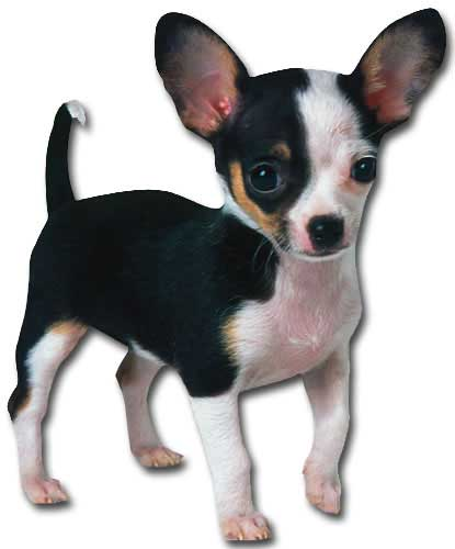 Chihuahua Puppy (1 card/1 envelope) - Blank Card