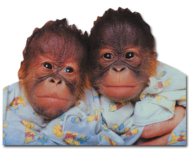 Orangutan Twins (1 card/1 envelope) Paper House Productions Die Cut Blank Card