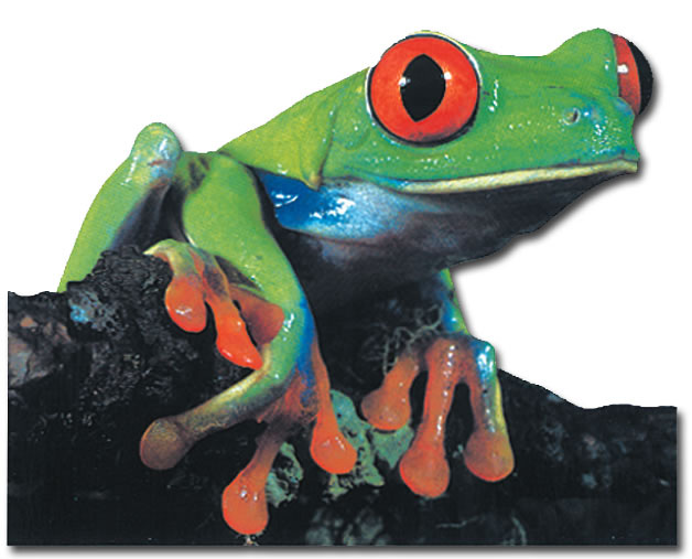 Red-Eyed Tree Frog (1 card/1 envelope) Paper House Productions Die Cut Blank Card