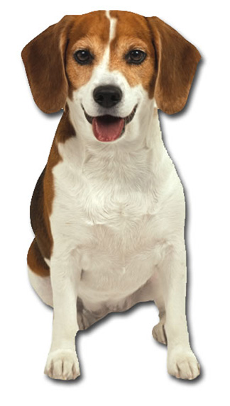 Beagle (1 card/1 envelope) Paper House Productions Die Cut Dog Blank Card