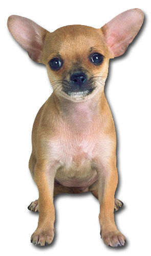 Tan Chihuahua (1 card/1 envelope) Paper House Productions Die Cut Dog Blank Card
