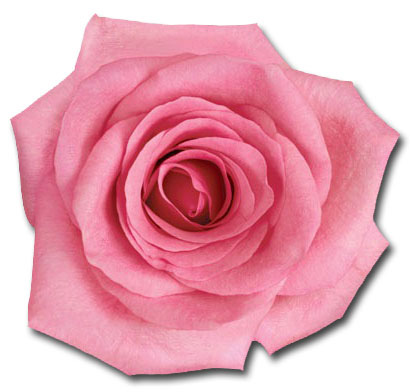Pink Rose (1 card/1 envelope) - Blank Card