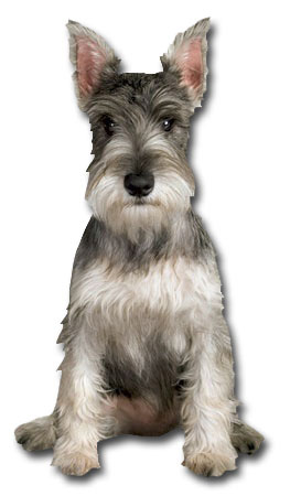 Mini Schnauzer (1 card/1 envelope) Paper House Productions Die Cut Dog Blank Card