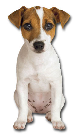 Jack Russell Puppy (1 card/1 envelope) Paper House Productions Die Cut Dog Blank Card