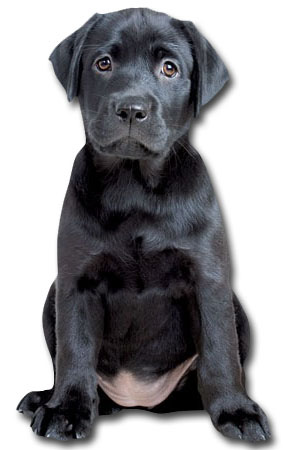 Black Labrador Puppy (1 card/1 envelope) Paper House Productions Die Cut Dog Blank Card