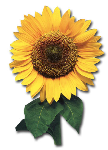 Sunflower W/Leaves (1 card/1 envelope) - Birthday Card  INSIDE: You are one of the good things under the sun. Happy Birthday