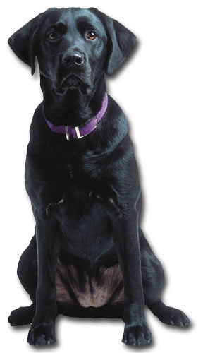 Black Labrador Die Cut Dog Birthday Card By Paper House Productions