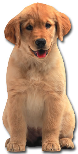 Golden Retriever Puppy (1 card/1 envelope) - Birthday Card  INSIDE: Happy Birthday
