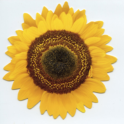 Common Sunflower (1 card/1 envelope) Paper House Productions Die Cut Birthday Card  INSIDE: Happy Birthday!