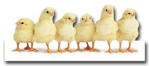 Row Of Chicks (1 card/1 envelope) - Easter Card  INSIDE: Happy Easter