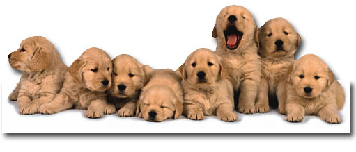 Golden Retreiver Puppies (1 card/1 envelope) - Pet Adoption Card  INSIDE: Welcome to parenthood!