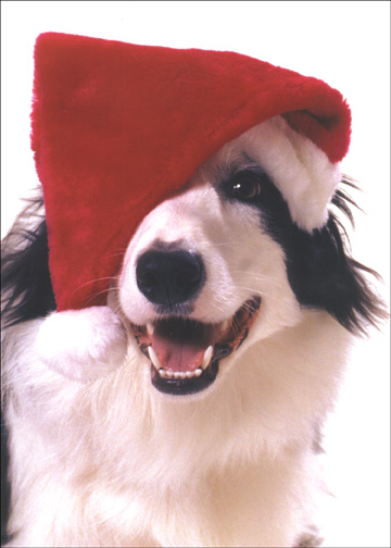 Dog with Santa Hat over Eye (18 cards & 18 envelopes) Boxed Christmas Cards - FRONT: No text  INSIDE: Best Wishes at Christmas